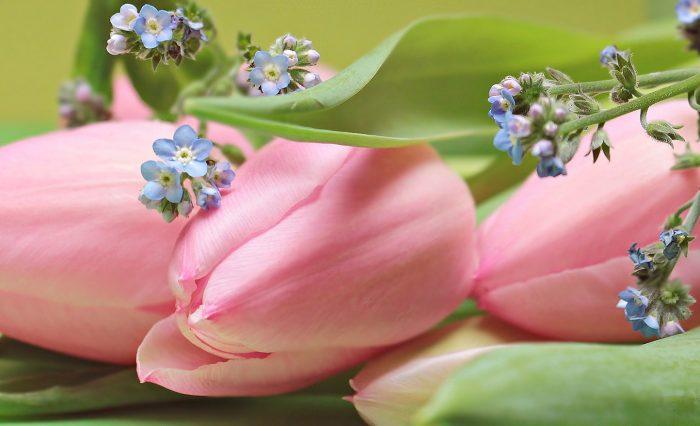 tulips-2167753_1920